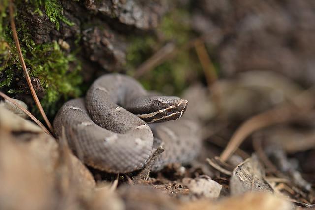 Ridge-nosed Rattlesnake (Neonate)