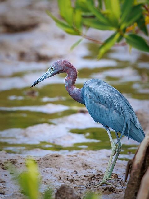 Little Blue Heron Adult