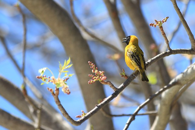 Southern Masked Weaverbird - Singing to welcome spring as buds bloom on the branch it sits on. Durban, South Africa, 2012