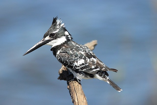 Close up of the Pied Kingfisher - Pilanesberg, South Africa, 2012