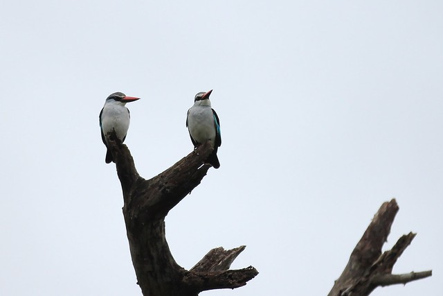 A pair of woodland kingfishers - Pilanesberg, South Africa, 2012.