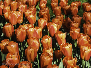 Bright Red Tulips | by simonevanbergen