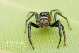 Jumping Spider (Colyttus bilineatus) - DSC_4840