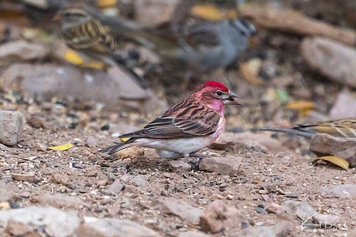 Western Purple Finch (Haemorhous purpureus californicus) | by Travel to Eat