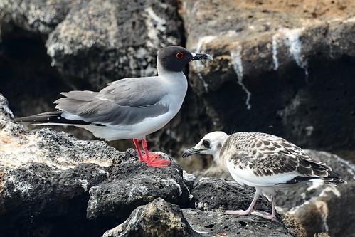 Галапагосская чайка, Creagrus furcatus, Swallow-tailed Gull   by Oleg Nomad