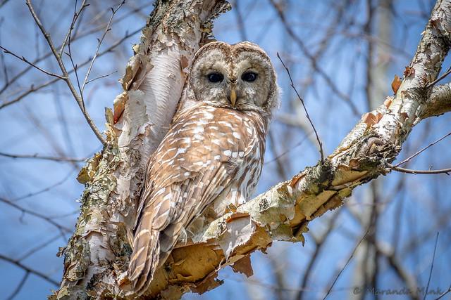 Same Owl, Same Tree, Same Pose, taken 2 years almost to the day apart.