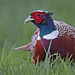 Ring-Necked Pheasant by photosauraus rex