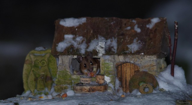 wild Wood mouse in a little garden house (3)