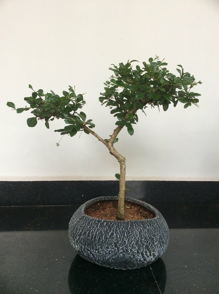 Fukien tea tree five years old in a hand made pot. -