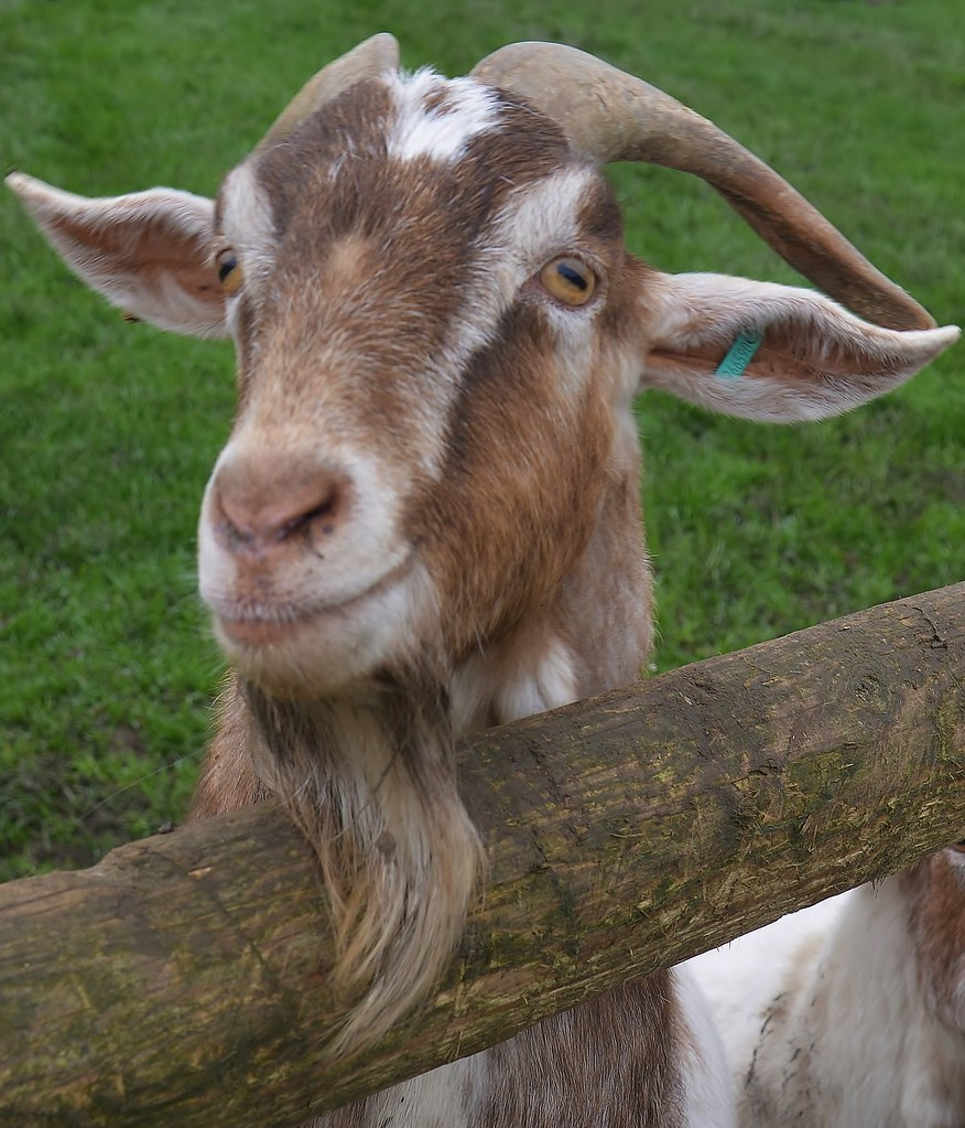 Christmas Goat.Billy Goat Christmas Tree Farm Downe Kent Barry Marsh