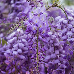 Wisteria Flowers in Spring, Oakland, California, USA