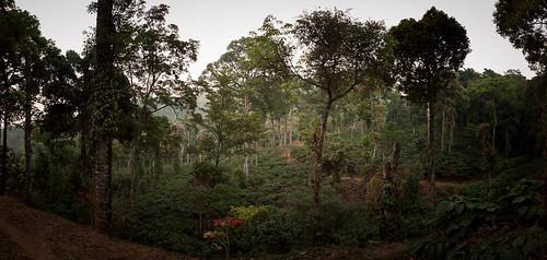végétation plantationdecafé paysage panorama2 forêt kabbinakad karnataka inde ind