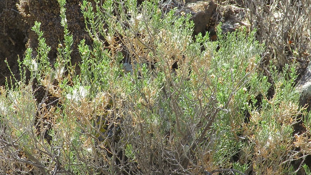 Asteraceae,  Ericameria brachylepisBoundary Goldenbush