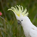 Sulphur-crested Cockatoo - Photo (c) patrickkavanagh, some rights reserved (CC BY)