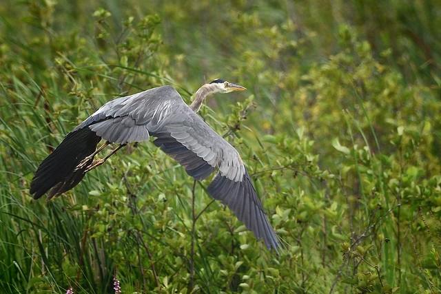 Grand Héron --- Great blue heron --- Garza azulada