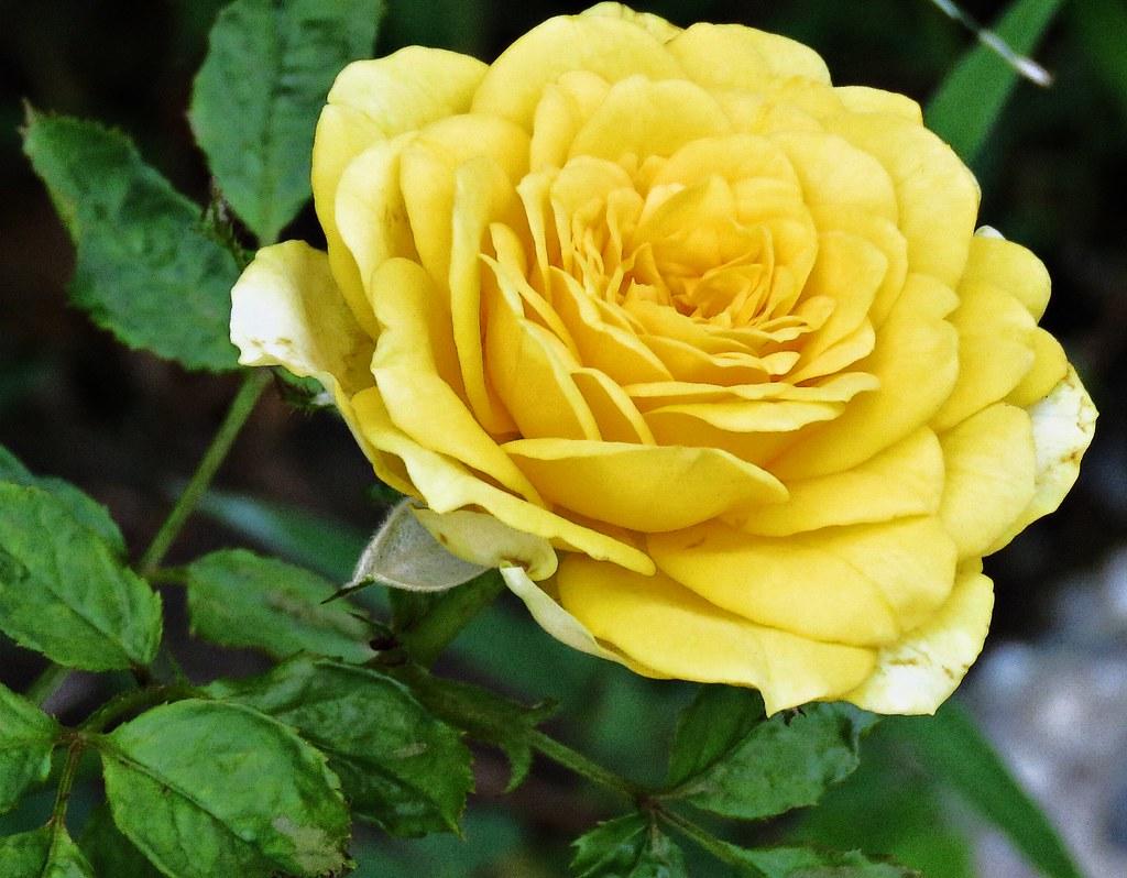 summer yellow rose