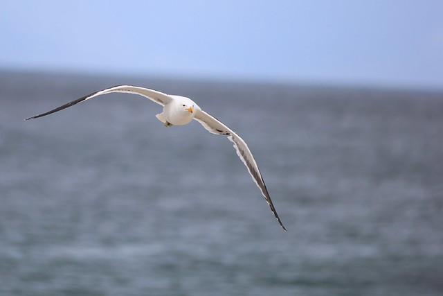 Seagull in flight - Cape Town, South Africa, 2012.