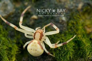 Crab Spider (Mastira bipunctata) - DSC_2740