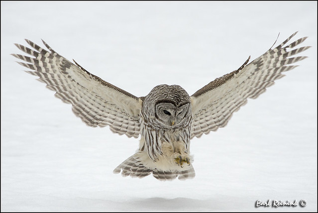 Barred Owl: Prey spotted..