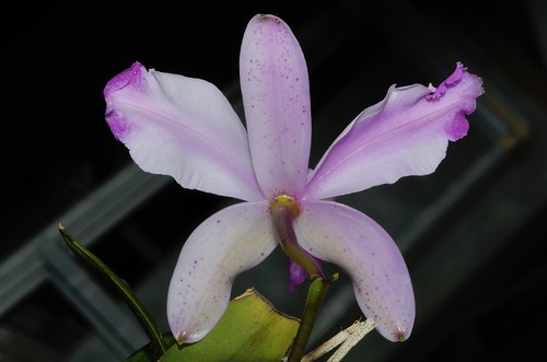 Cattleya intermedia var. aquinii 'Jenny' | by 澎湖小雲雀
