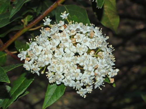 Caprifoliaceae - Viburnum tinus-3