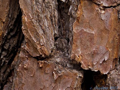 tree pine forest bark canonsx50 flickrandroidapp:filter=nonecanonsx50