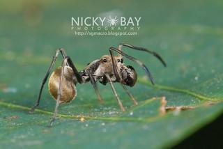 Ant-Mimic Jumping Spider (Toxeus maxillosus) - DSC_6892