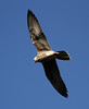 Lanner Falcon in flight by Wild Chroma