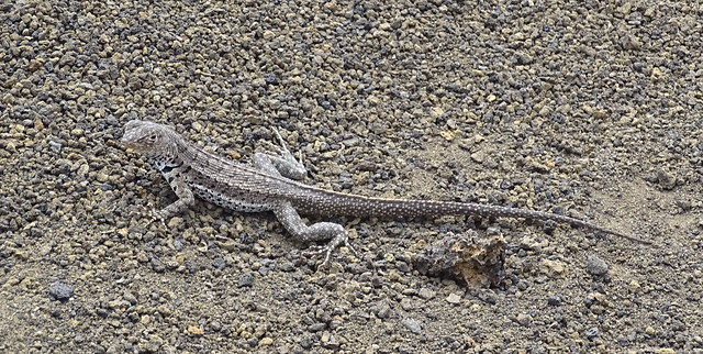 Fauna Isla de Bartolome Parque Nacional Galapagos  Ecuador 04