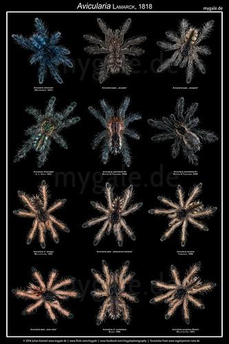 Avicularia Poster v3 (Tarantula Babys) | by mygale.de