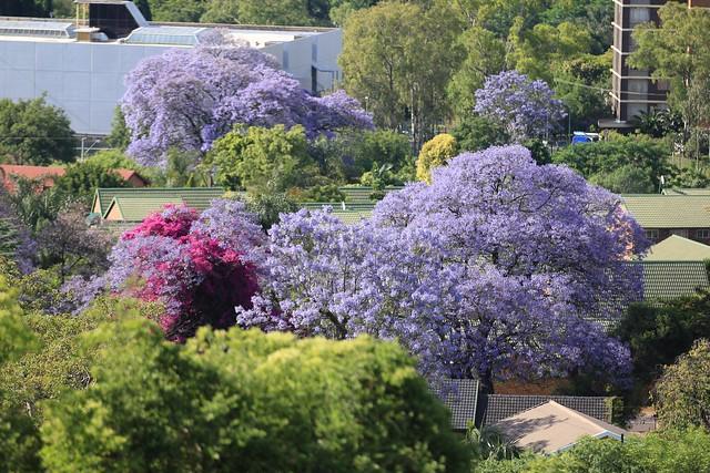 Jacarandas - Pretoria, South Africa, 2012.
