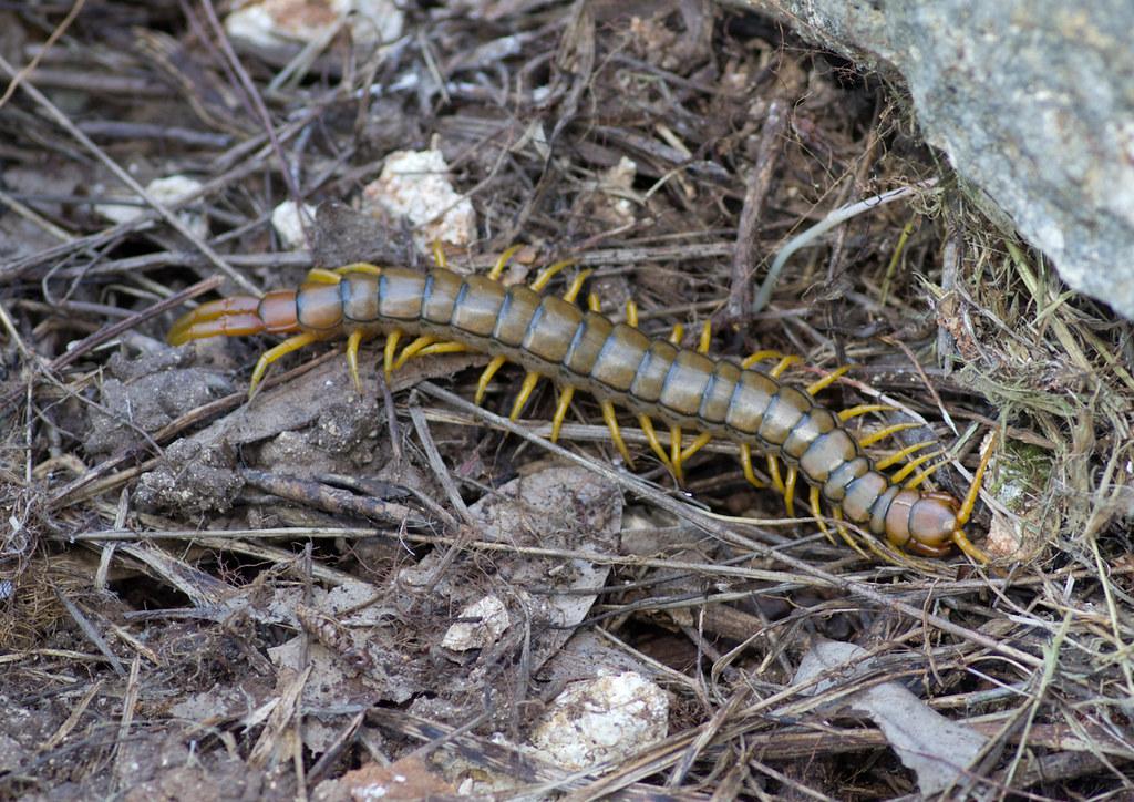 giant centipede | Taken in Kefalonia www uk-wildlife co uk
