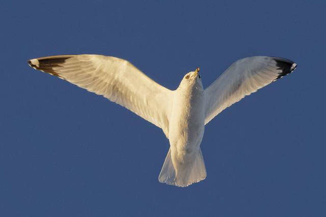 Ring-billed gull in evening sun.