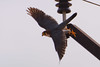 Red-necked Falcon # 62 by Ramakrishnan R - my experiments with light