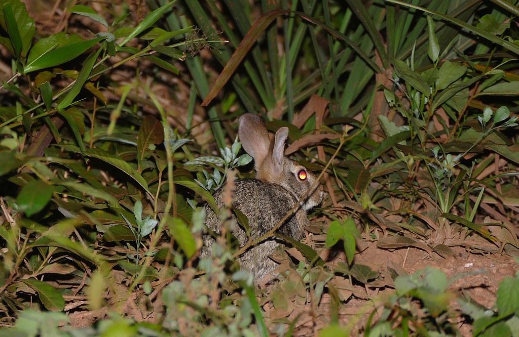 Tapeti or Forest Rabbit (Sylvilagus brasiliensis)