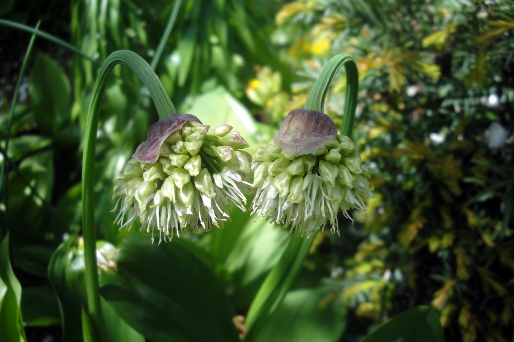 Allium victorialis, Tsaghkadzor, in culture, 2013.05.25