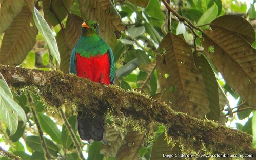 Golden-headed Quetzal - Pharomachrus auriceps 1 - La Linea, W Andes | by COLOMBIA Birding (Diego Calderon)