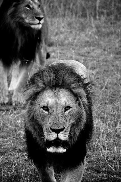 Large Masai Lions
