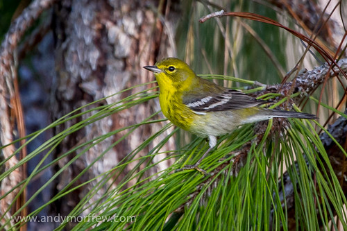 Pine Warbler | by Andy Morffew