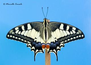 Papilio machaon (Linnaeus, 1758) ♂