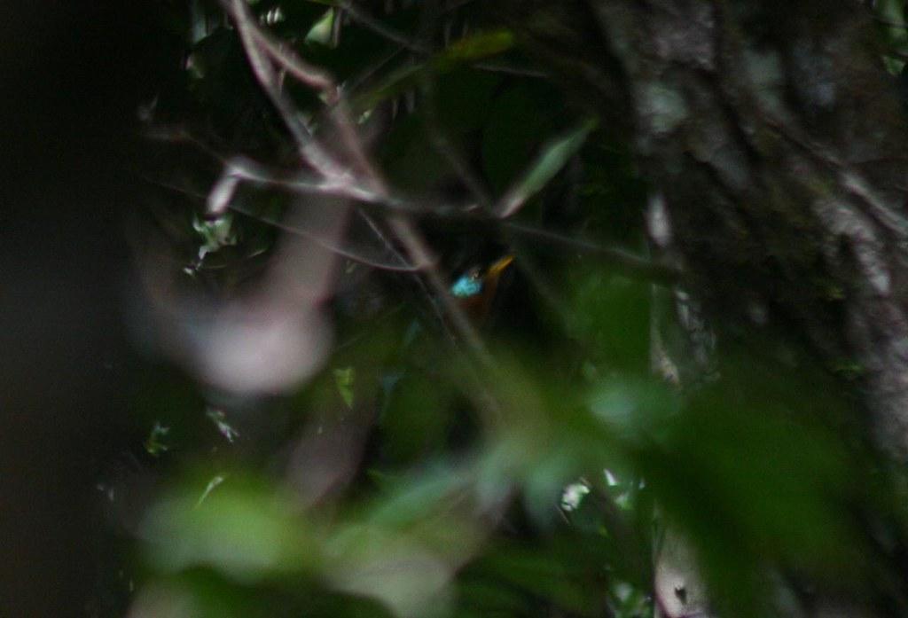 Blue-cheeked Jacamar (Galbula cyanicollis)