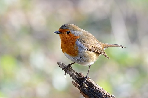 Robin in the Winter sun | by Rivertay07 - thanks for over 5 million views