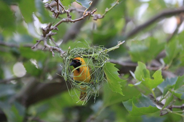 Southern Masked Weaver in action - Cape Town, South Africa, 2012.