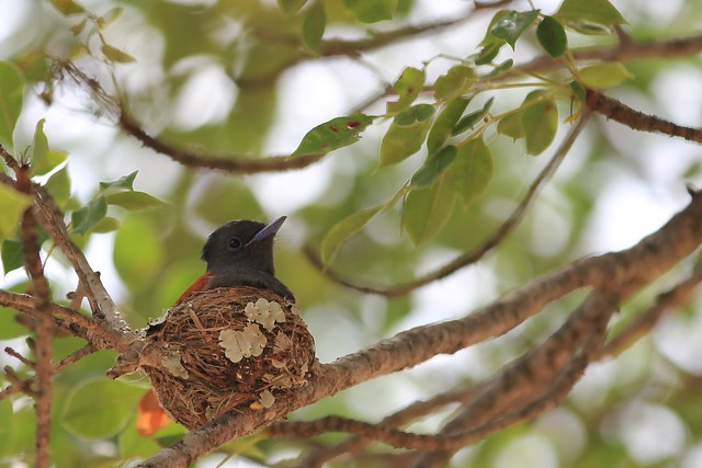 Female African Paradise-flycatcher incubating her eggs - Sabi Sands, South Africa, 2012