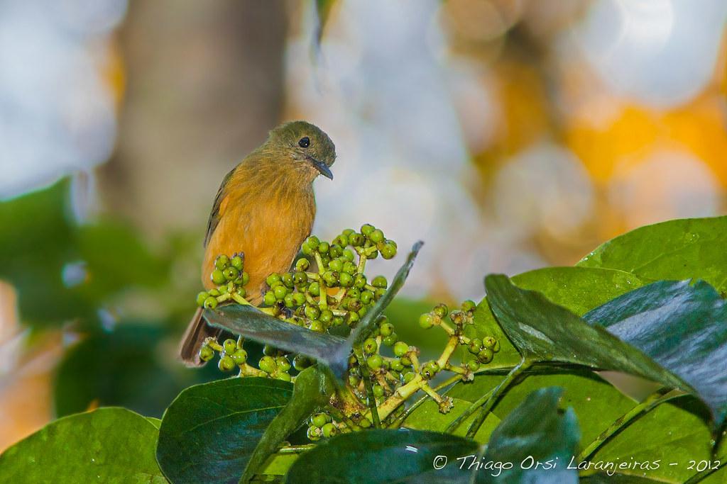Abre-asa-da-mata (Mionectes macconnelli roraimae) - McConnell's Flycatcher - Photo: Thiago Orsi Laranjeiras