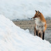 Red Fox in snow by mortenprom