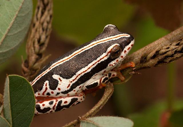 Hyperolius swynnertoni broadleyi