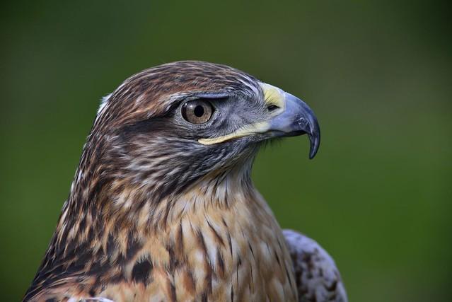 nikon nikkor 400mm 3.5 tc16a D800 rusty eagle