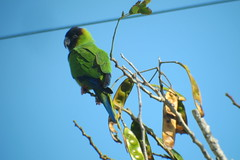 Nanday Parakeet, Fort DeSoto County Park, Florida