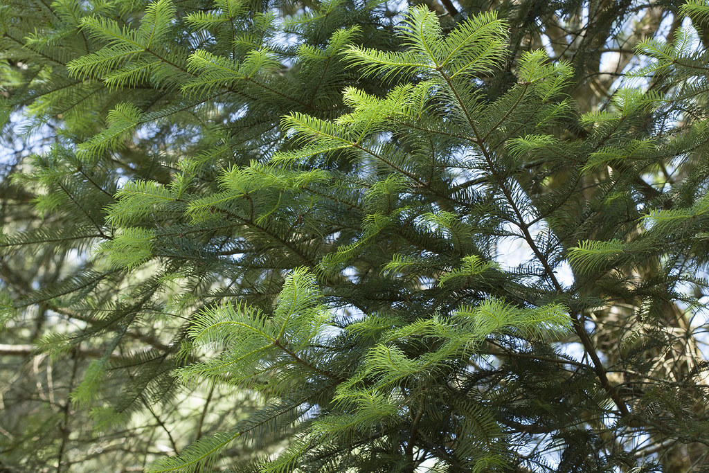 Abies Religiosa Kunth Schltdl Cham Abies Religiosa Flickr